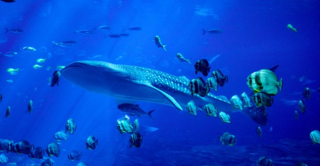 ICO study: whales displace small fish