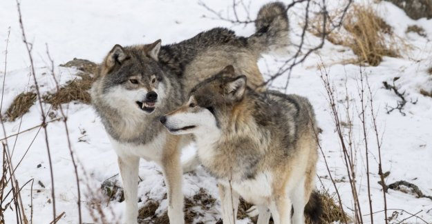 Now threatened the wolf even more