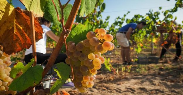 Viticulture : Castex announces an additional allocation of € 80 million