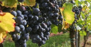 The vintners of Italy and fear of inadequate compensation, to continue to harvest